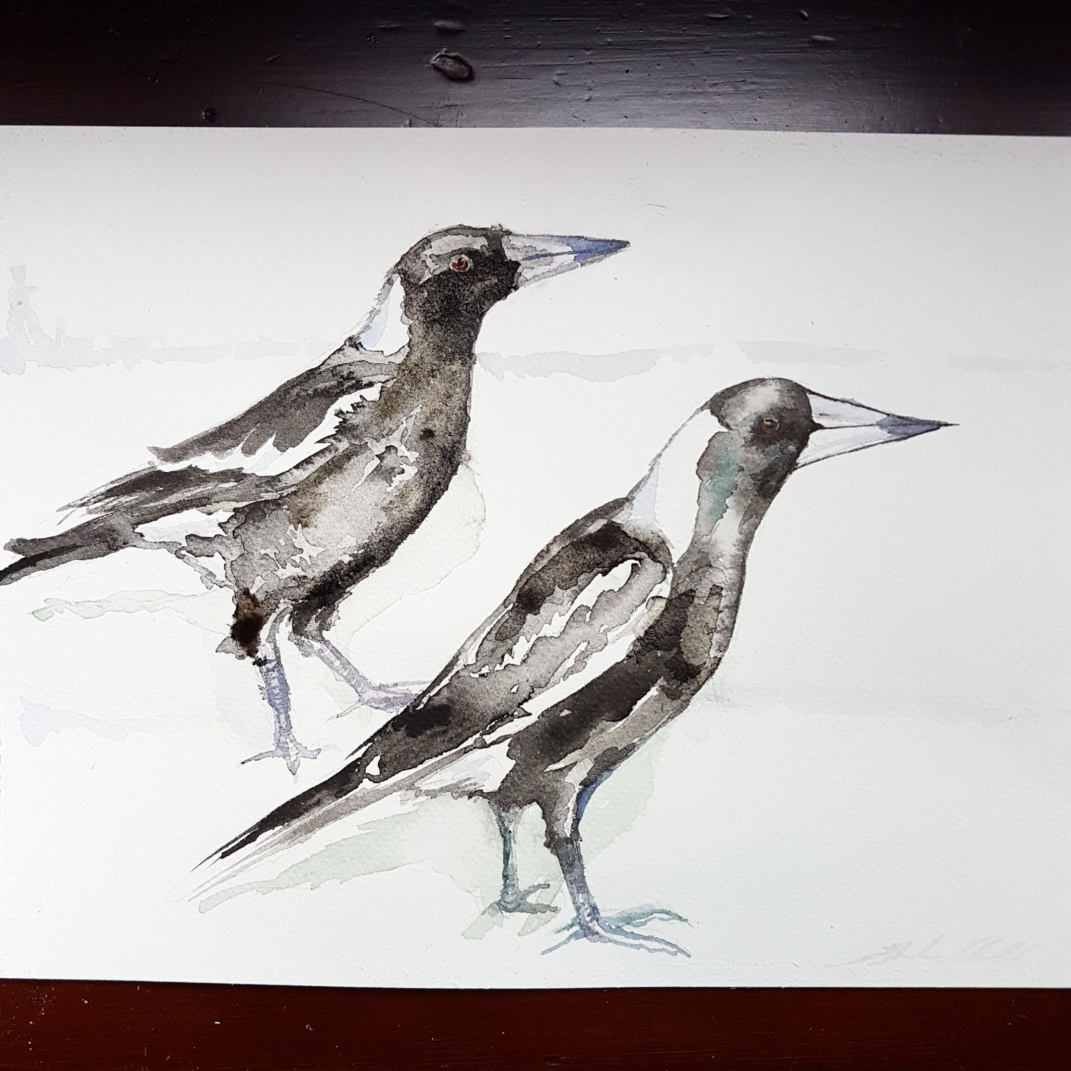 Magpies (Cractius tibicen)