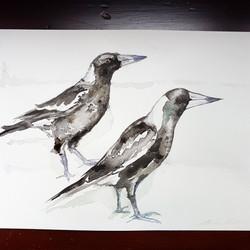 Magpies (Cractius tibicen)