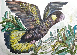 Yellow tailed black cockatoo (Calyptorhy