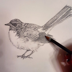 Willy wagtail in progress