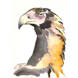Wedge-tailed eagle(Aquila audax)__Just