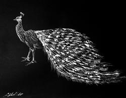 peacock (960x745) (2)