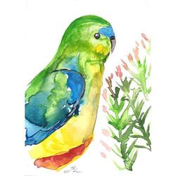 Orange-bellied parrot(Neophema chrysoga