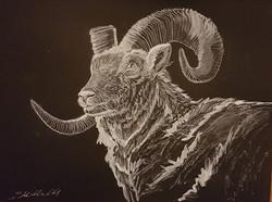 Dall Sheep (Ovis Dalli Dalli)