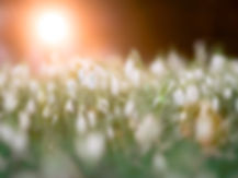 close-up-photo-of-a-bed-of-white-flowers