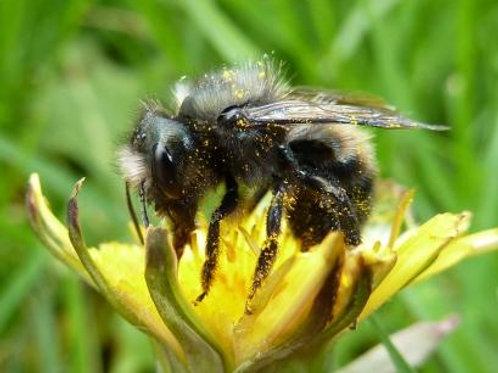 Spring Mason Bee Care Workshop April 24 2017