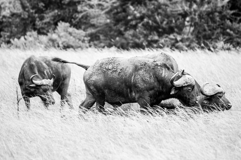 Buffaloes, South Africa