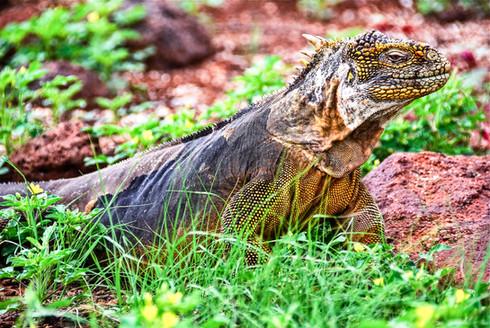 Galapagos Land Iguana, Ecuador
