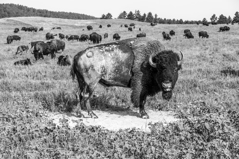 Bisons, USA