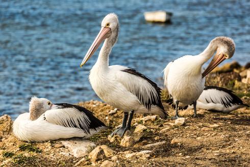 Pelican, Australia