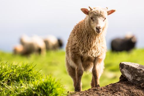 Sheep, Faroe Islands