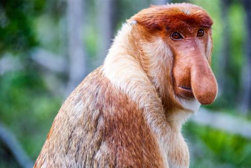 Proboscis monkey, Malaysia