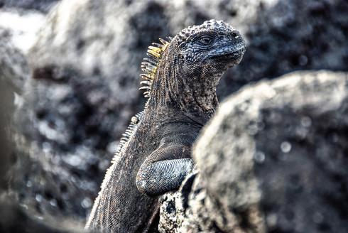 Marine Iguana on Galapagos, Ecuador