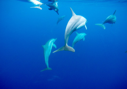 Dolphins, Papua New Guinea