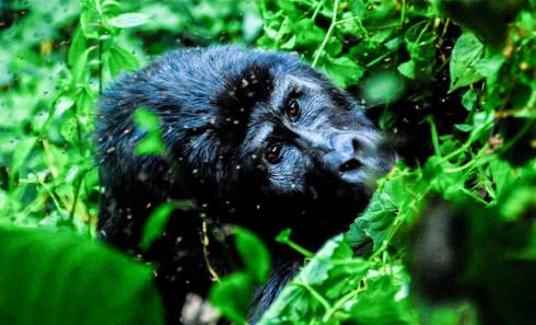 Gorilla, Uganda