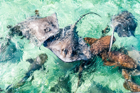 Shark and Rays, Belize