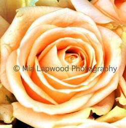 PE1 -Peach Rose