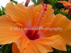 O2- Orange Hibiscus