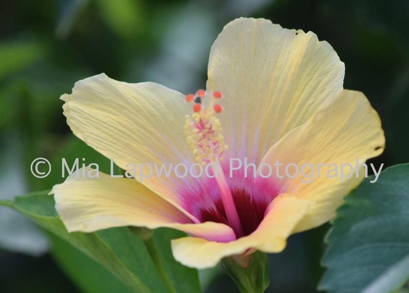 Y 16 - Yellow Hibiscus