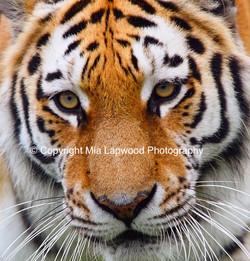 BC25 Tiger