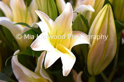 W11 - White Lily