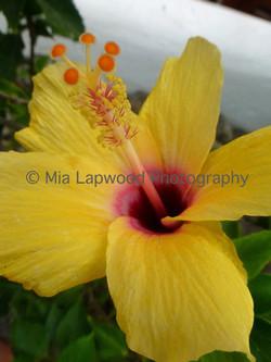 Y4 - Yellow Hibiscus