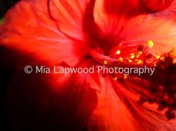 R1 - Hibiscus