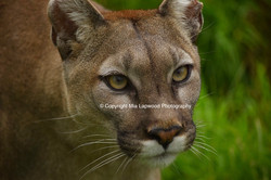 BC19 Puma