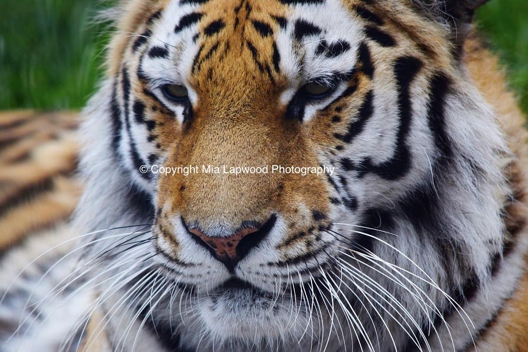 BC01 Tiger