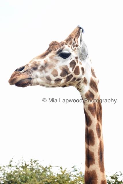 Giraffe 29