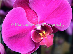 P7 -Pink Orchid