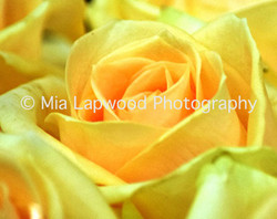 Y2 - Yellow Rose