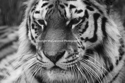 BC22 Tiger