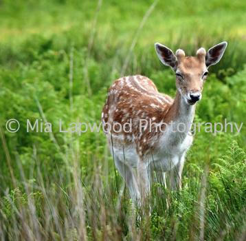 D2 - Deer wm