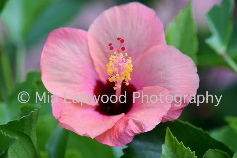 P13 - Pink Hibiscus