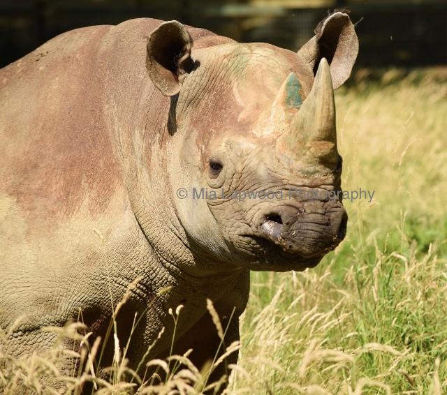 Rhino 12