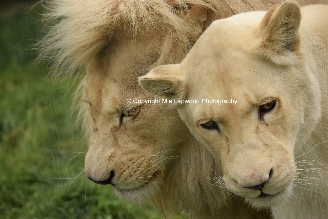 BC56 White  Lion