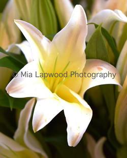 W10 - White Lily