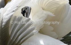 B18 - Swan wm