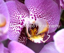 Pu 4 - Purple Orchid