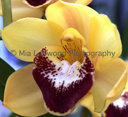 Y10 - Yellow-Purple Orchid