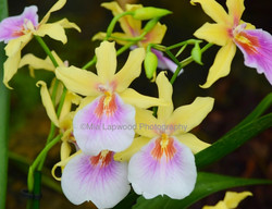 Y22 - Yellow Lilac Orchids