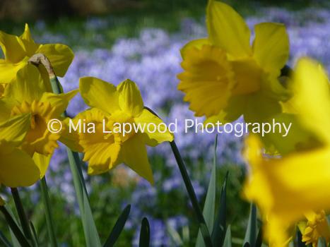 Y1 - Yellow Daffodils