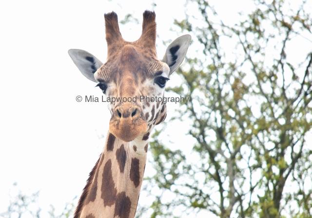 Giraffe 53
