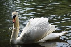 B15 - Swan