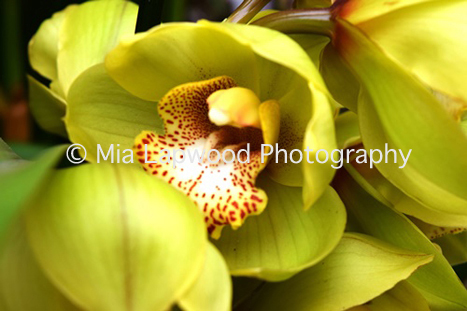 Y12 - Yellow Orchid