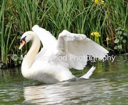 B17 - Swan