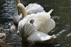 swan  wm