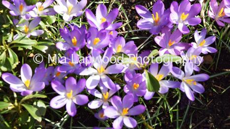 Pu5 - Purple Flowers