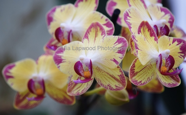 Y20 - Yellow Purple Orchids